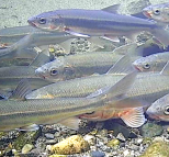 LFPFish
